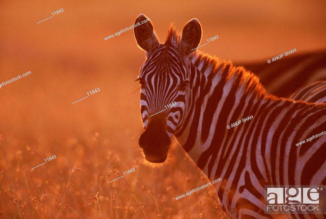 Stock Photo: Burchells Zebra (Equus burchelli). Masai Mara. Kenya.
