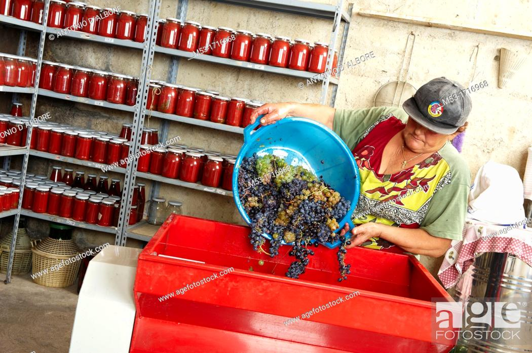 Stock Photo: A farmer pour grapes in the tray of a motorized destemmer machine.