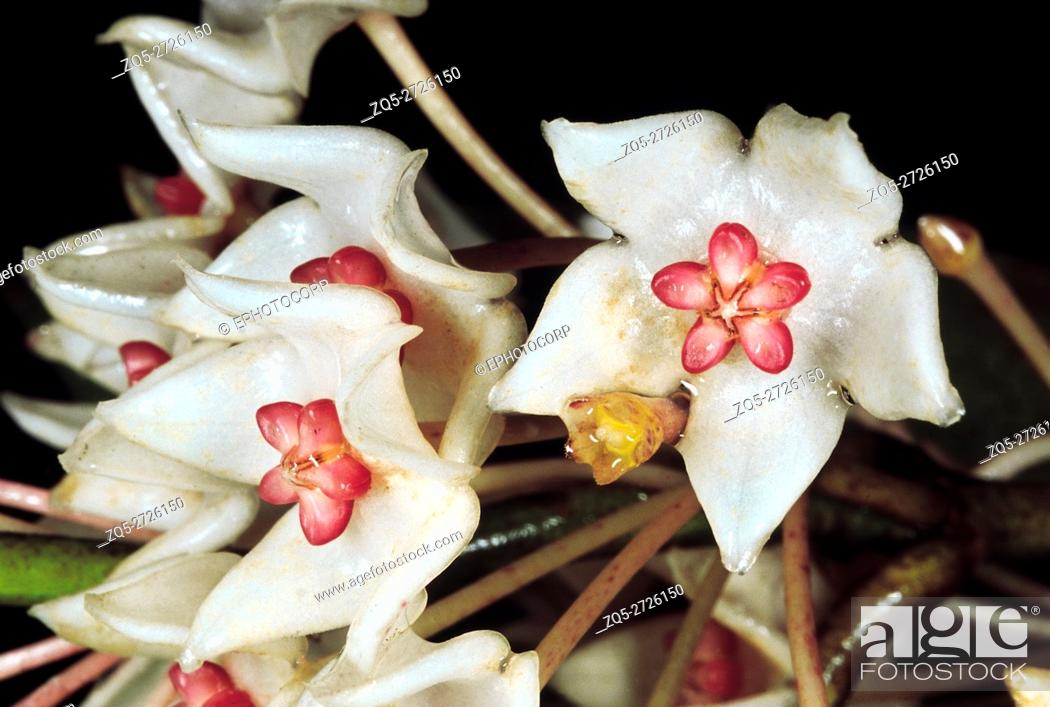 Stock Photo: An epiphytic climber. Hoya sp. Family: Asclepiadaceae. The typical Asclepiadaceae shape and arrangement of the flower can be clearly seen.