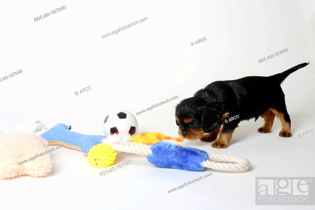 Cavalier King Charles Spaniel Puppy Black And Tan 5 Weeks