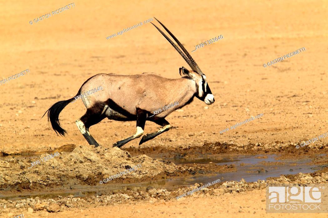 Stock Photo: Gemsbok (Oryx gazella), running, Kgalagadi Transfrontier Park, Kalahari desert, South Africa.