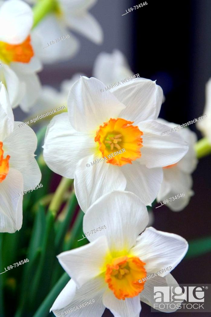 Stock Photo: Daffodil flowers. Narcissus hybr.