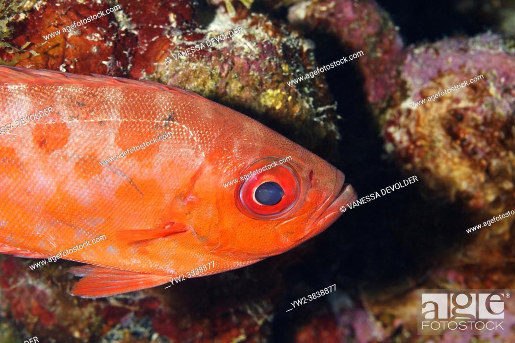 Stock Photo: Bigeye in the Caribbean sea around Bonaire.