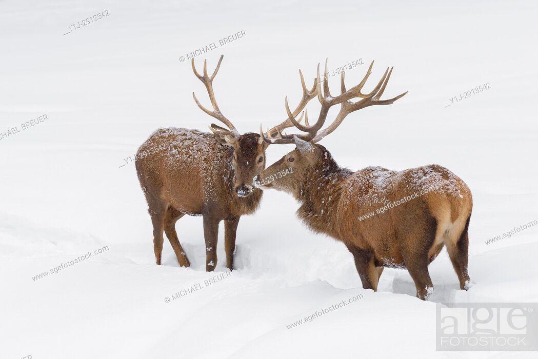 Stock Photo: Red deers in Winter, Cervus elaphus, Bavaria, Germany, Europe.