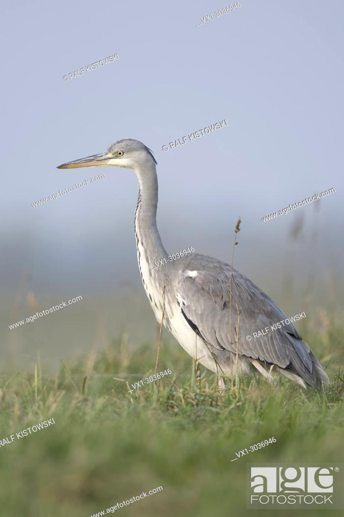 Stock Photo: Gray Heron ( Ardea cinerea ), standing in a wet meadow, in typical surrounding, taken from low point of view.