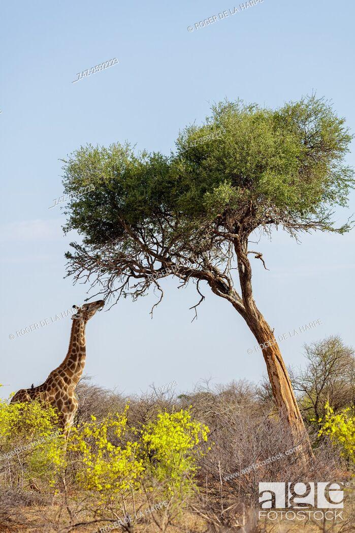 Imagen: South African giraffe or Cape giraffe (Giraffa camelopardalis giraffa) with smelly shepherds tree (Boscia foetida) and Yellow pomegranate (Rhigozum obovatum).