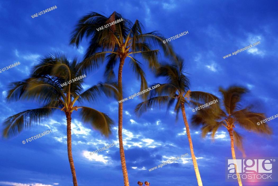 Stock Photo: Palm Tree.