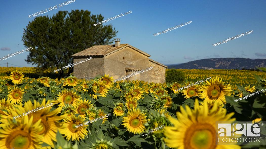 Stock Photo: Stone house in Sunflower field blooming near lavender fields during summer in Valensole plain of Provence France.