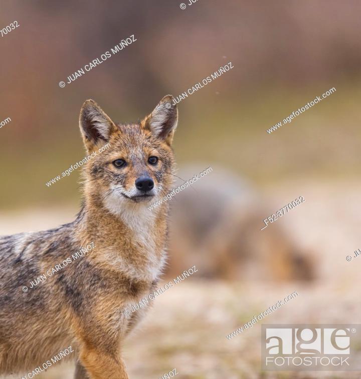 Photo de stock: Golden jackal - CHACAL DORADO (Canis aureus), Danube Delta - DELTA DEL DANUBIO, Ramsar Wetland, Unesco World Heritgage Site, Tulcea County, Romania, Europe.