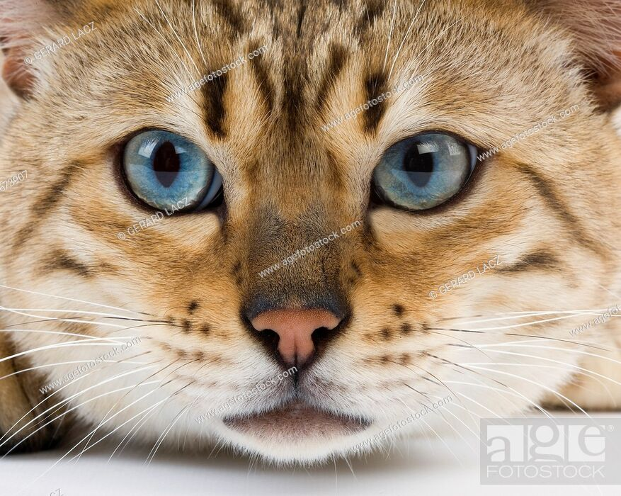 Stock Photo: Seal Mink Tabby Bengal Domestic Cat, Portrait of Male with Blue Eyes.