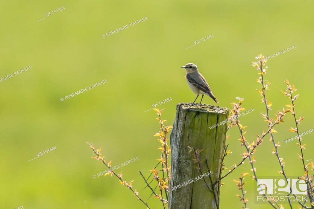 Stock Photo: germany, saarland, bexbach, A common wheatear on his vantage point.