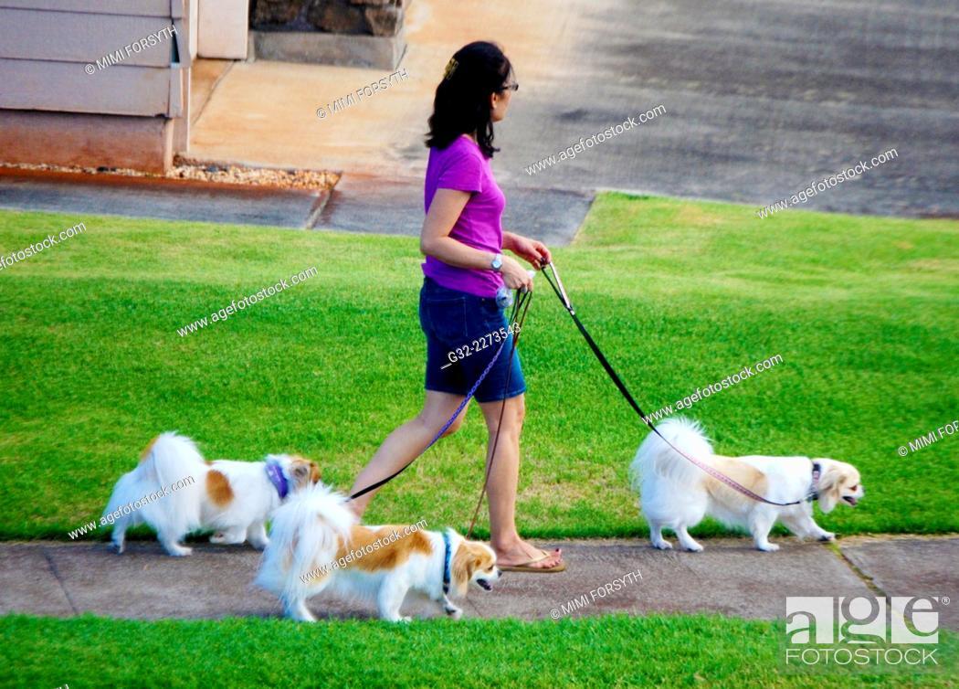 Stock Photo: woman walking dogs - three Papillons, in Hawai'i.