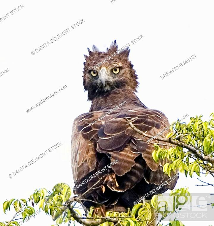 Stock Photo: Kenya. Martial eagle perched on tree limb. Credit: Joanne Williams / Jaynes Gallery / DanitaDelimont.com.