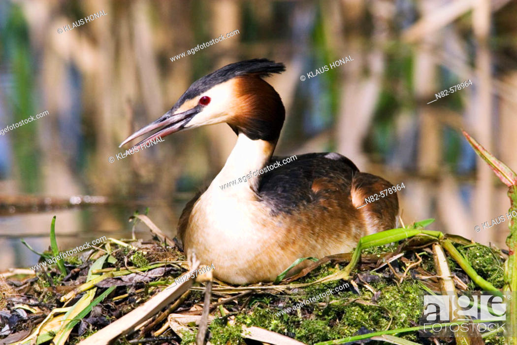 Stock Photo: Great Crested Grebe (Podiceps cristatus) brooding on nest.