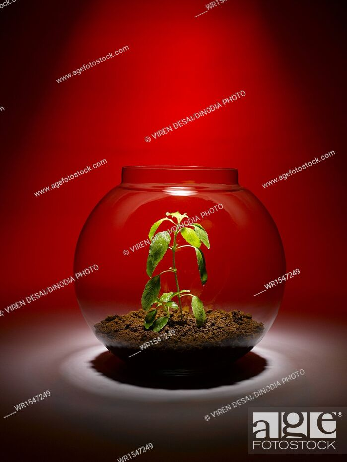 Imagen: tulsi plant growing inside a glass bowl India.