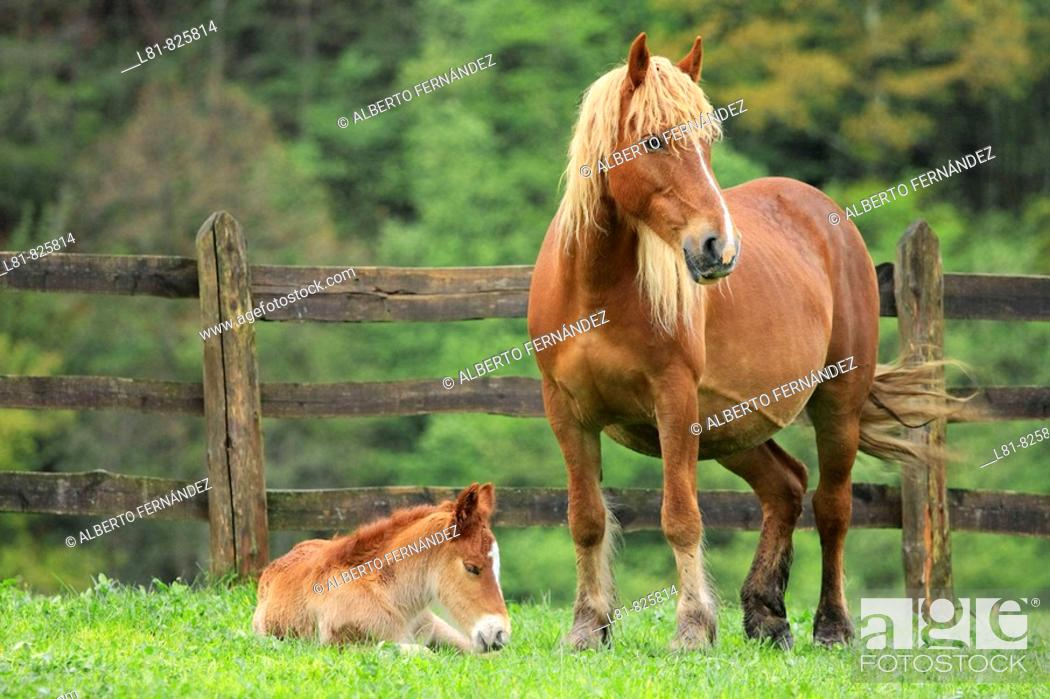 Stock Photo: Mare and foal in enclosure. Santibañez de Murias, Aller, Asturias, Spain.