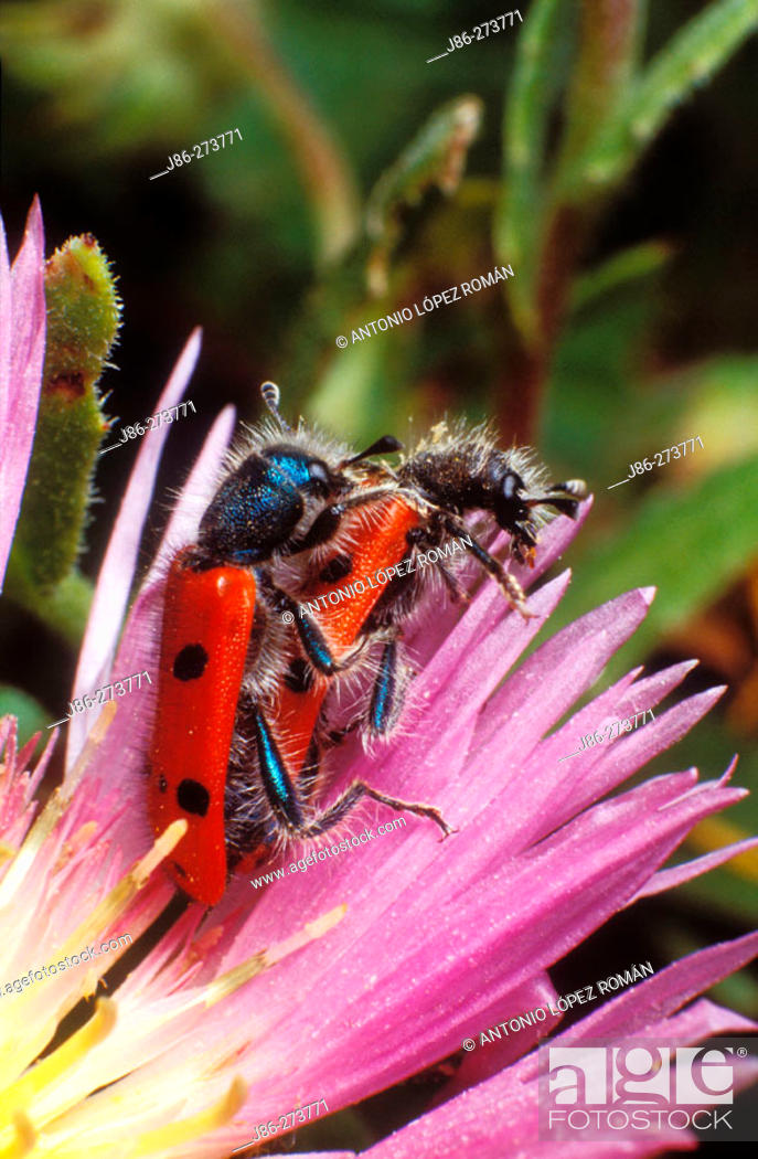 Stock Photo: Beetles (Trichodes octopunctatus) mating.