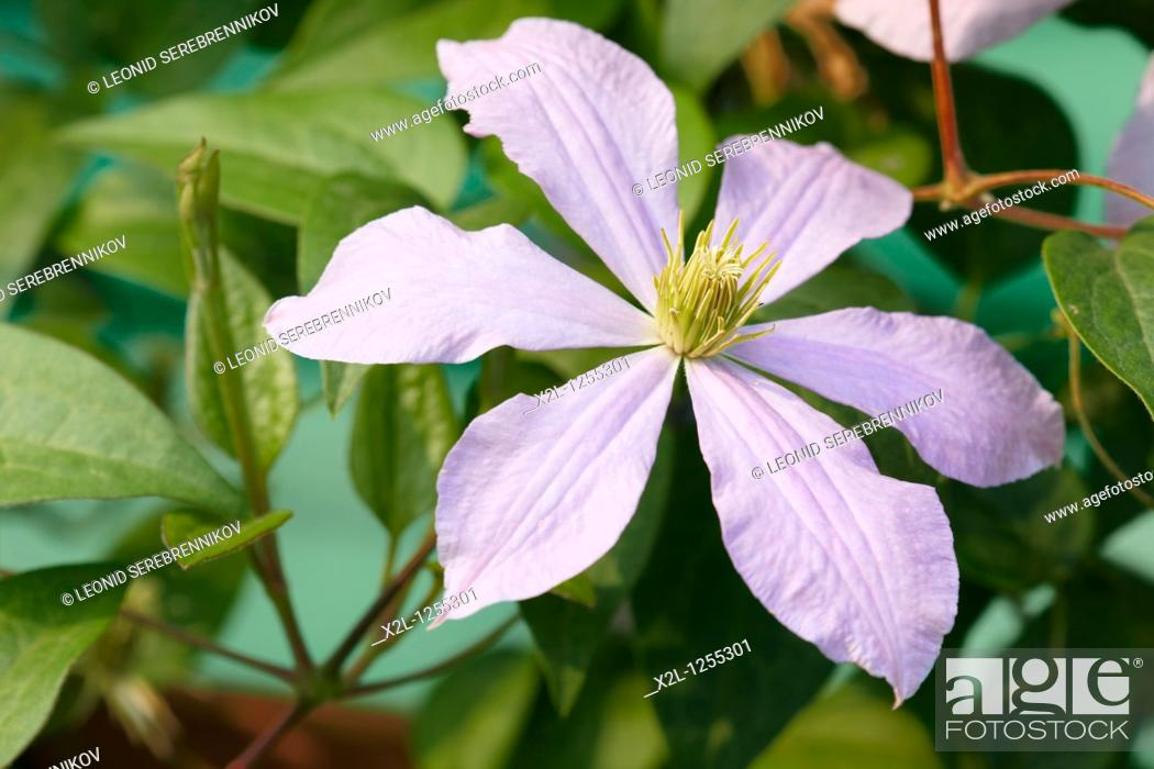 Stock Photo: Clematis flower close up.