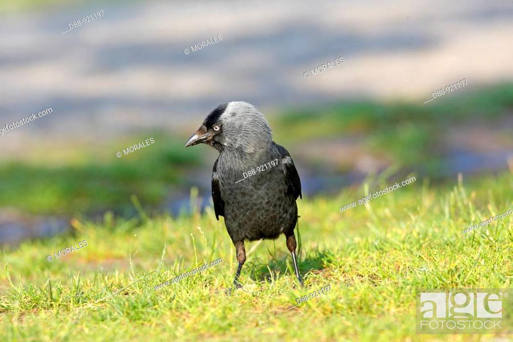 Stock Photo: choucas des tours Jackdaw Corvus monedula   Ordre : PassEriformes,  Famille : CorvidEs.
