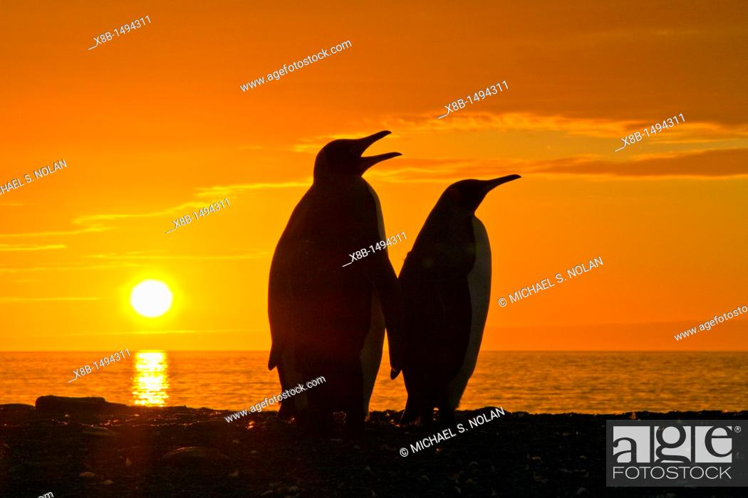 Stock Photo: King penguins Aptenodytes patagonicus at sunrise on South Georgia Island, Southern Ocean  MORE INFO The king penguin is the second largest species of penguin at.