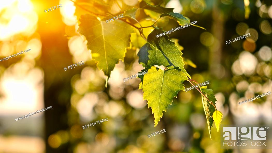 Stock Photo: Green birch leaves branches background sunset. Medicinal plant.