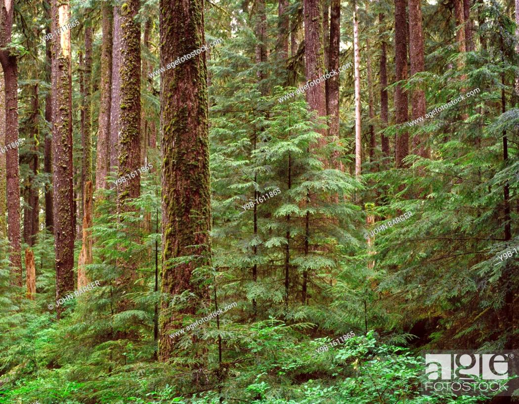 Stock Photo: Ancient forest of western hemlock and Sitka spruce, Sol Duc Valley, Olympic National Park, Washington, USA.