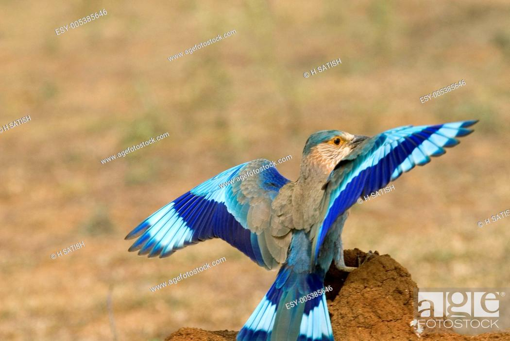 Stock Photo: Birds ; Indian Roller coracias benghalensis landing ; Hasarghatta ; Bangalore ; Karnataka ; India.