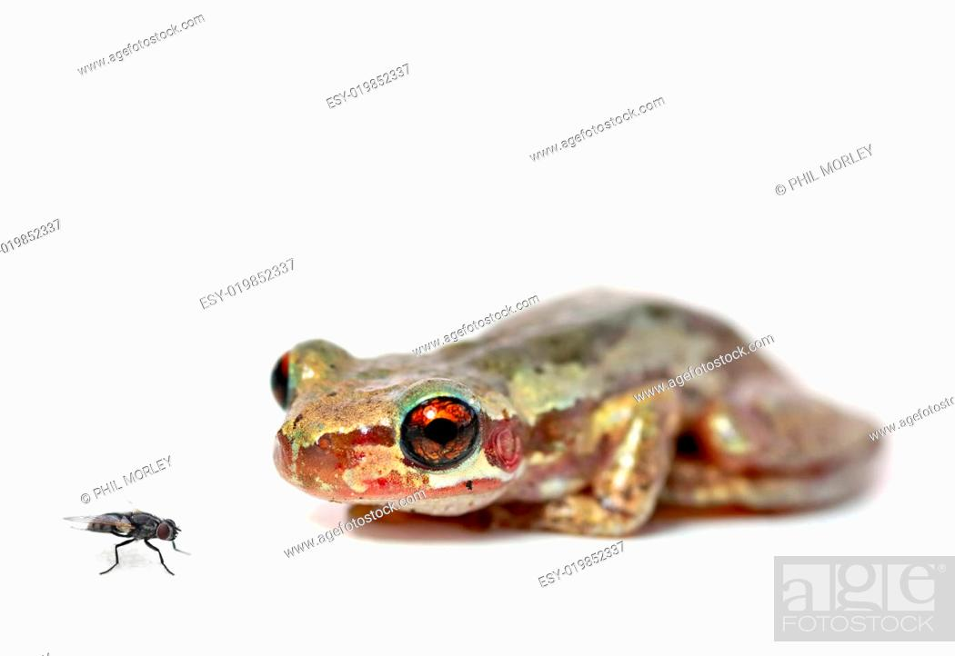 Stock Photo: crouching frog and fly.
