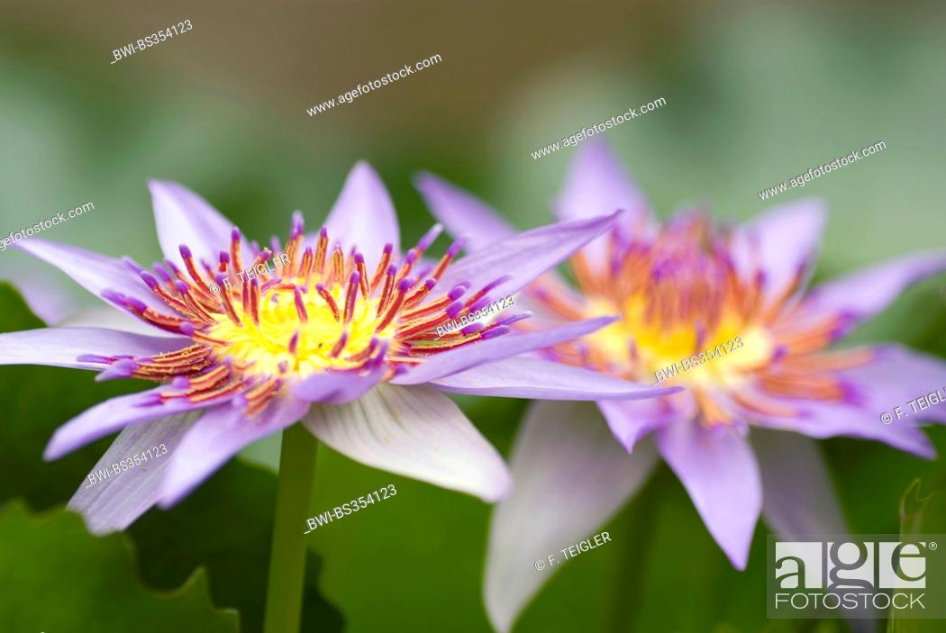Stock Photo: Tropical waterlily, Blue Pigmy (Nymphaea colorata), two flowers.