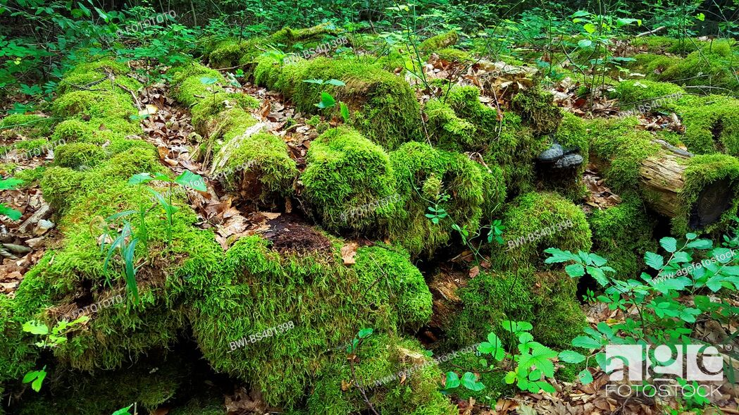 Imagen: moss.covered rotten stock of logs at a forest path, Germany, Baden-Wuerttemberg, Odenwald.