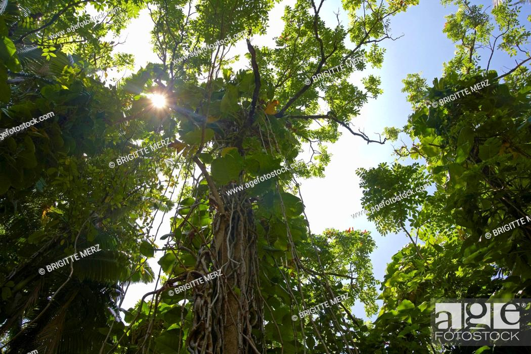 Stock Photo: Low angle view at trees at tropical forest, Big Island, Hawaii, USA, America.