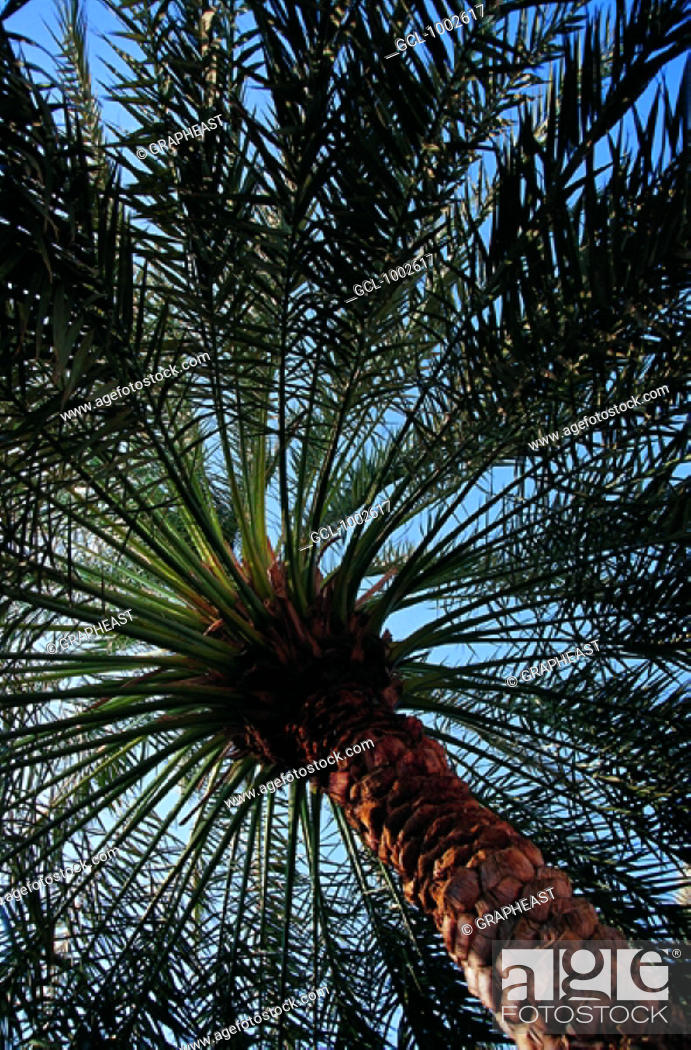 Stock Photo: Date Palm Tree in the United Arab Emirates.