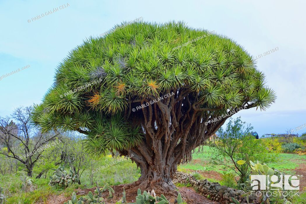 Imagen: Drago tree. La Palma. Canary islands.