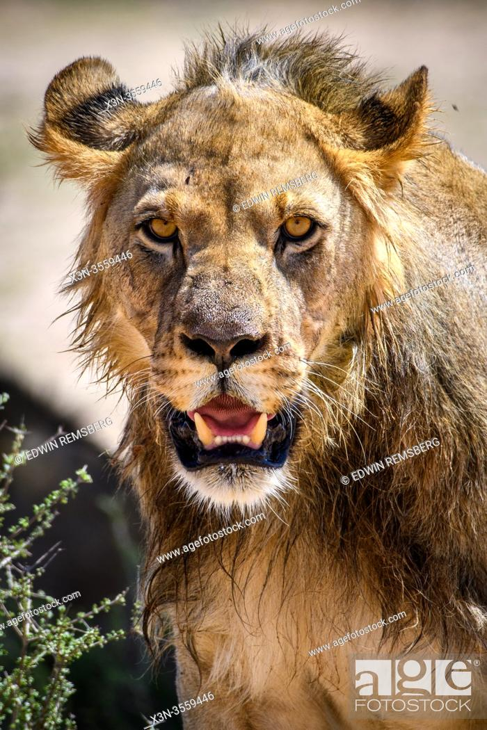 Stock Photo: Lion - Kgalagadi , South Africa.