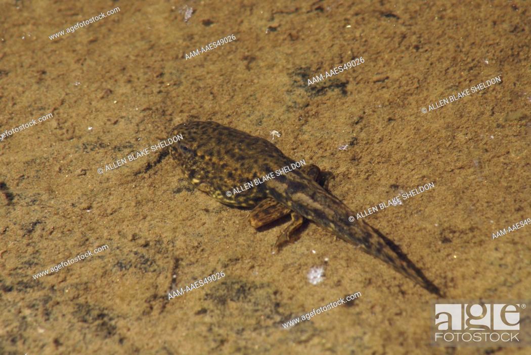 Stock Photo: Mink Frog Tadpole (Rana septentrionalis) Boundary Waters Canoe Area Wilderness, Lake County, MN.