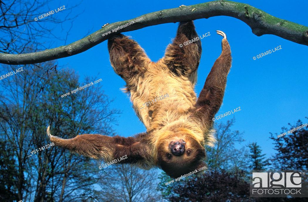 Stock Photo: TWO TOED SLOTH choloepus didactylus HANGING UPSIDE DOWN FROM BRANCH AGAINST BLUE SKY.