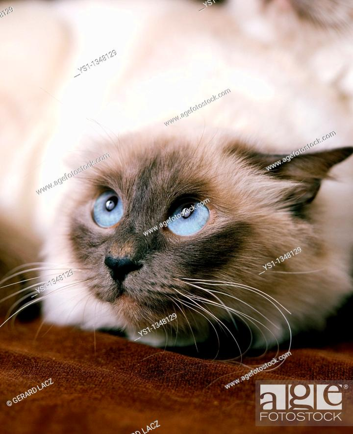 Stock Photo: BIRMANESE DOMESTIC CAT, ADULT WITH FEAR FACE.
