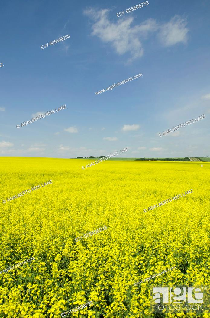 Stock Photo: Canola plants are harvested mostly for the production of oil.