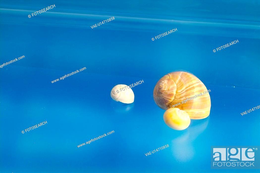 Stock Photo: mollucca, animal, mollusc, mollusks, mollusk, shell, conch.