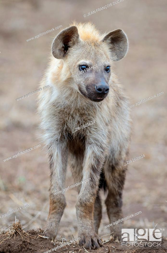 Stock Photo: Spotted hyena (Crocuta crocuta), young male, standing on arid ground, Kruger National Park, South Africa, Africa.