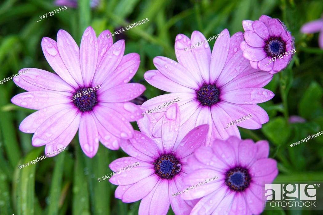 Stock Photo: Water droplets on the petals of flowers.