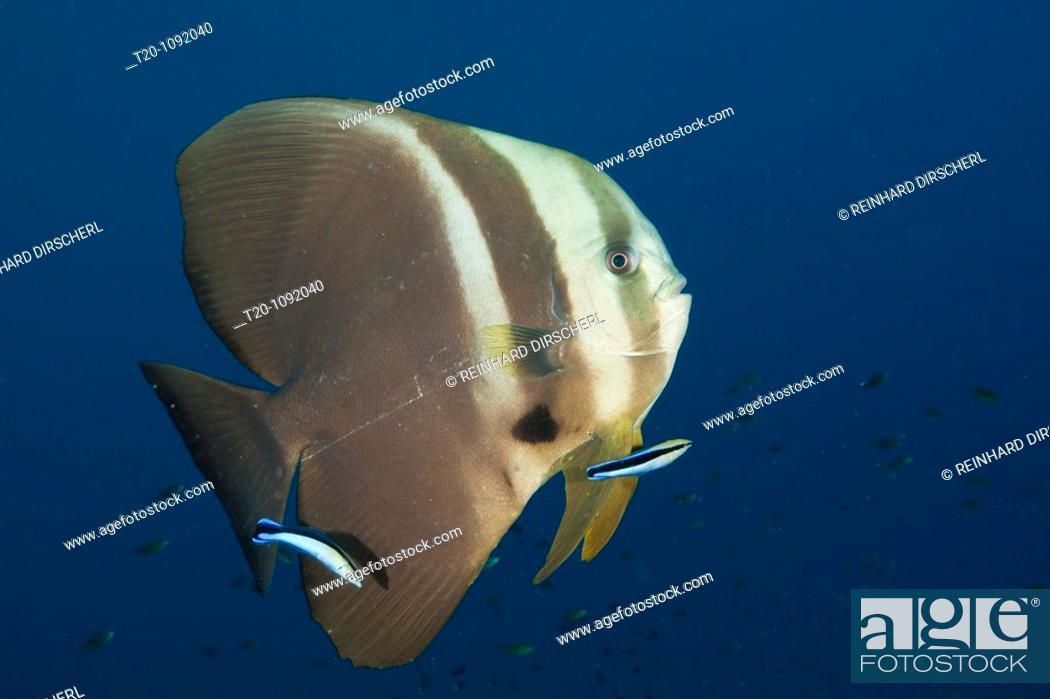 Stock Photo: Longfin Batfish and Cleaner Wrasse, Platax teira, Raja Ampat, West Papua, Indonesia.