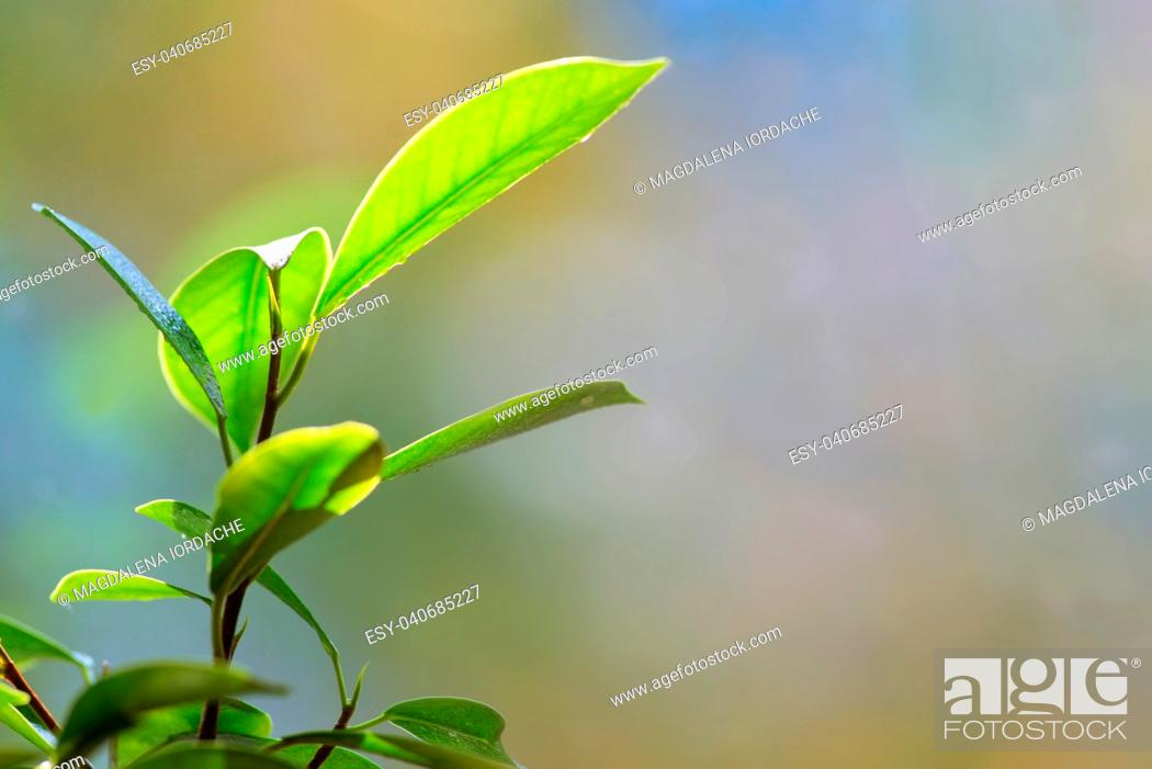 Stock Photo: Bonsai leaves details and water drops.