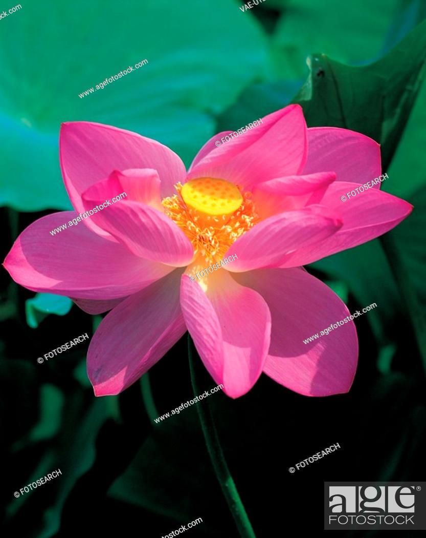 Stock Photo: blossom, plant, bloom, flowers, plants, lotus flower, flower.