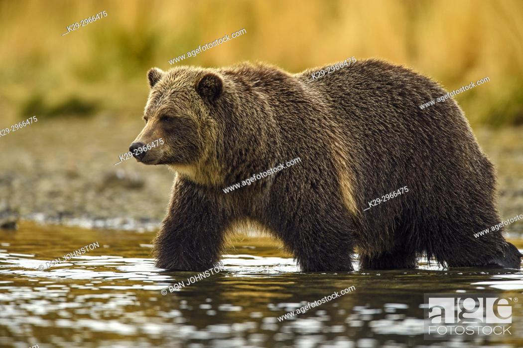 Stock Photo: Grizzly bear (Ursus arctos)- Adult hunting sockeye salmon in shallows of the Chilko River. Chilcotin Wilderness, British Columbia BC.