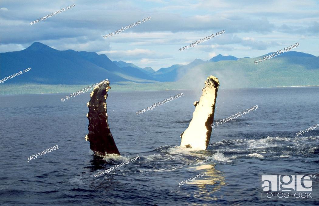Stock Photo: Humpback Whale - flipper slapping (Megaptera novaeangliae). Alaska.