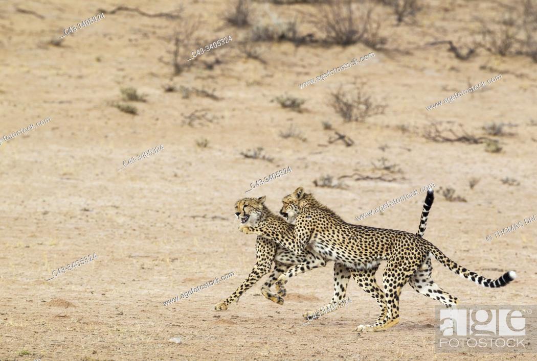 Stock Photo: Cheetah (Acinonyx jubatus). Two playful subadult males in the dry and barren Auob riverbed. During a severe drouight. Kalahari Desert.