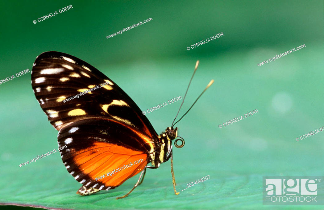 Stock Photo: Tiger longwing Butterfly (Heliconius hecale).