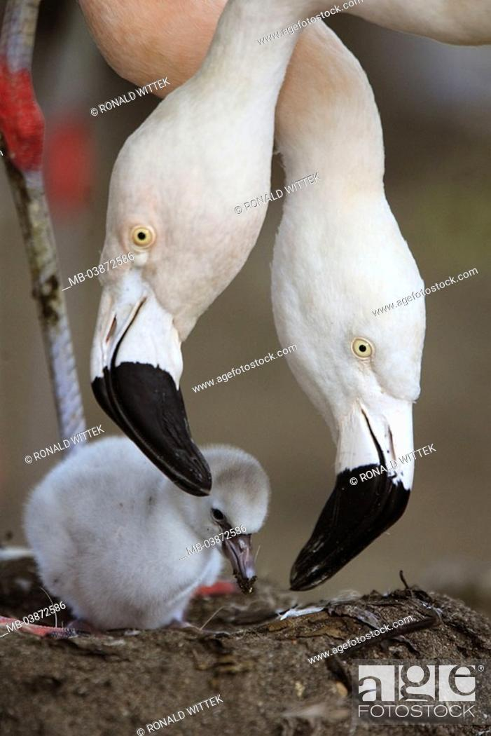 Stock Photo: Chile-flamingos, Phoenicopterus chilensis, parents-animals, detail, heads, chicks, nest, animals, birds, three, plover-birds, waterfowls, flamingos, alto-birds.