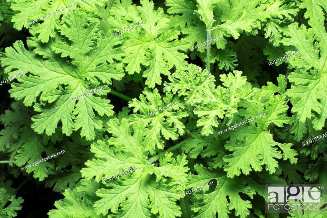 Stock Photo: Pelargonium graveolens.